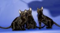 питомник бомбейских кошек