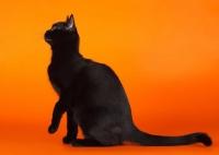 бомбейский кот питомник