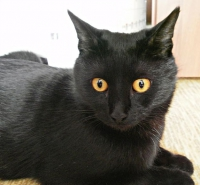 бомбейская кошка характер