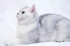 британский котенок шиншила