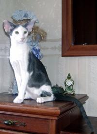 кошка ориентальной породы цена