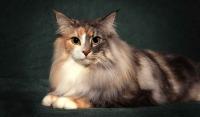 норвежская лесная кошка черепаховый окрас