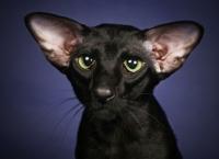 черная кошка петерболд