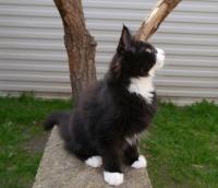норвежская лесная кошка черно белая