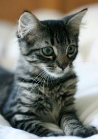 европейский котенок