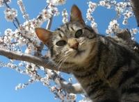 европейский короткошерстный кот