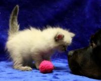 Характер невской маскарадной породы кошек, отзывы владельцев, отношения с детьми и собаками, Кошки - кто они?