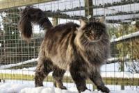 характер норвежской лесной кошки