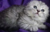 котята хайленд фолд
