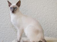 ориентальная кошка происхождение