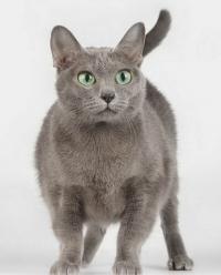 корат кошка