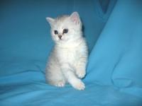 шотландский котенок страйт