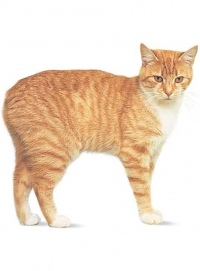 манкс кошка