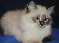 цены на маскарадных кошек