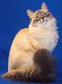 фото невской маскарадной кошки