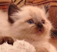 невский котенок