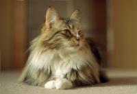 норвежская кошка характер