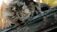 норвежская кошка порода