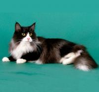 норвежская кошка стандарт