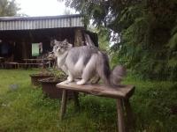 норвежская лесная кошка размер