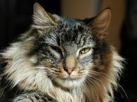 норвежская лесная кошка характеристика
