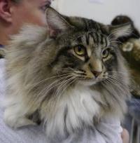 норвежская лесная кошка из питомника