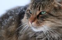 норвежская лесная кошка уход