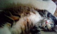 норвежский кот характер