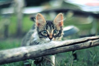норвежский котенок