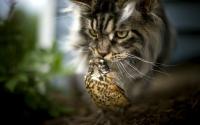 норвежский лесной кот характер
