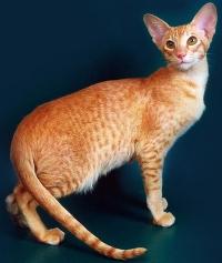 ориентальная кошка цена