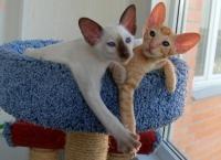 ориентальные котята из питомника