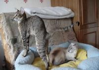 ориентальная кошка рост