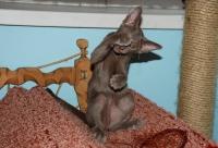 купить котенка ориентальной породы