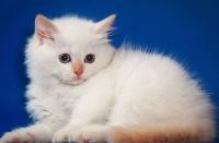 маскарадная порода котов