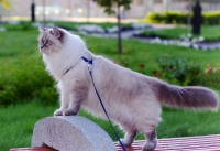 клуб кошек невских маскарадных