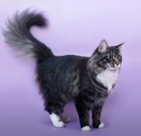 питомник норвежских кошек