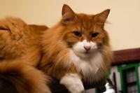 порода кошек норвежская