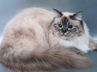 происхождение невской маскарадной кошки