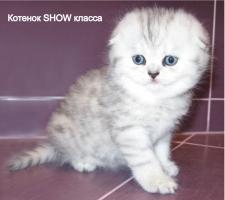 купить шотландского вислоухого котенка