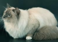 шерсть невской маскарадной кошки