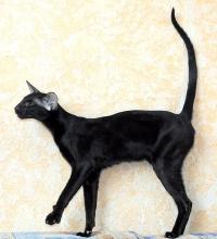 ориентальная кошка стандарт