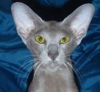 ориентальная кошка вес