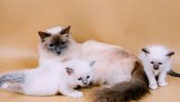 священная бирма котята
