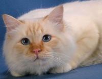 кошка священная бирма