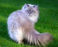 вязка невских маскарадных кошек