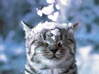 котенок окраса вискас