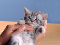 британский котенок вискас