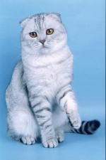 вислоухий котенок вискас