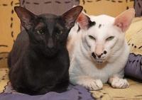 ориентальный кот вязка